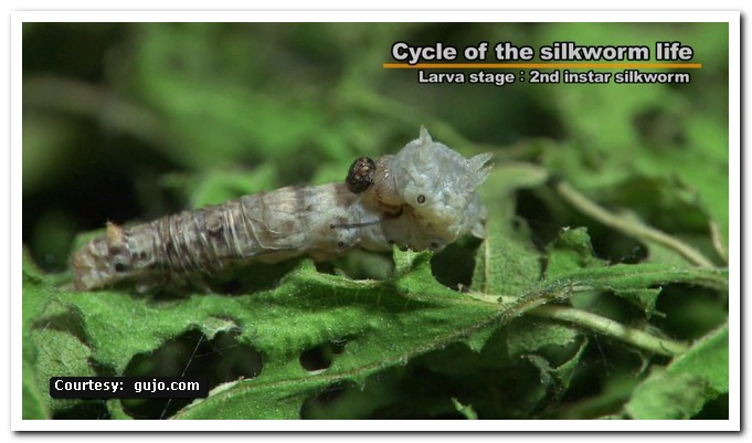 Silkworm Life Cycle | Central Sericultural Research & Training